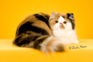20160220_San Gabriel Valley Cat Fanciers-142-Edit