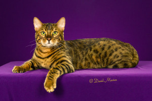 20160220_San Gabriel Valley Cat Fanciers-231-Edit